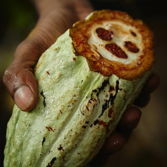 Cabosse, i grossi frutti dell'albero del cacao