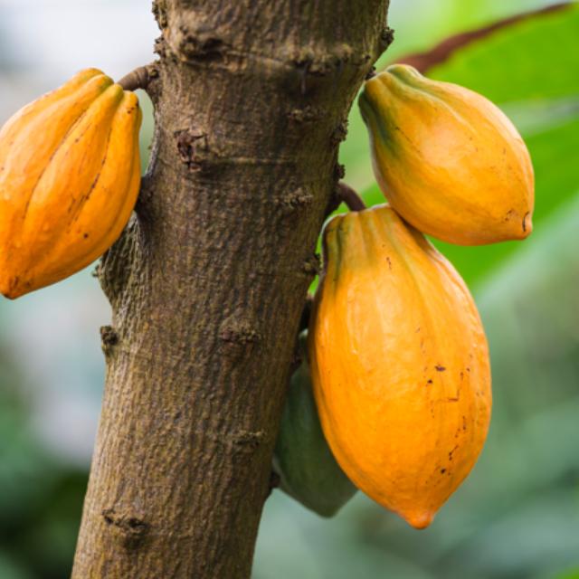 Frutti dell'albero del cacao