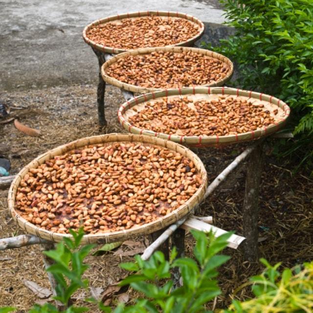 Essiccazione delle fave di cacao